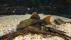 Besatz im Aquarium Amazonasufer