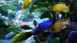 Labidochromis kakusa 2