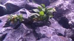 Anubias Barteri var. nana rechts & bonsai links