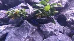 Besatz im Aquarium Demasoni Rocks - aufgelöst