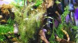 Plantes en cultiu submergit