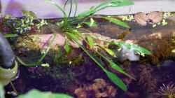 Pflanzen im Aquarium tercera conca