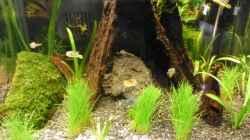 Besatz im Aquarium Nano-Kugelfischaquarium