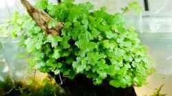 Pflanzen im Aquarium Hello old Quercus