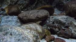 Besatz im Aquarium 240er Tanganjika