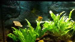 Besatz im Aquarium Klassisches Gesellschaftsaquarium
