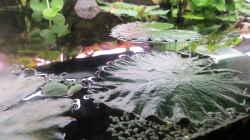 Tigerlotus-Schwimmblätter