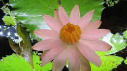 Blüte des Tigerlotus