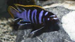 Labidochromis sp. mbamba