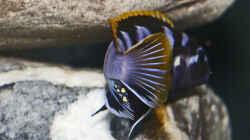 Labidochromis sp. mbamba `Backansicht`