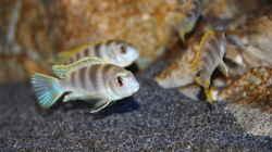 Labidochromis perlmutt Männchen mit 3 seiner 4 Damen