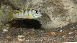 Labidochromis perlmutt Weibchen
