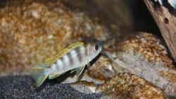 Labidochromis perlmutt Männchen