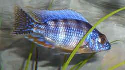 Protomelas sp. steveni taiwan (Männchen juvenil)