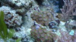 Parazoanthus- Krustenanemone