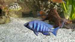 Placidochromis Phenochilus Tanzania männchen F1, 1/3