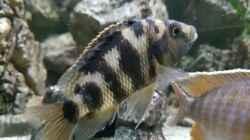 Placidochromis Milomo red weibchen