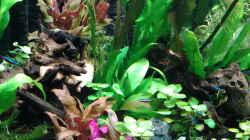 Pflanzen im Aquarium amazonas südamerika live