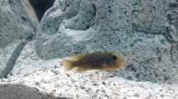Labidochromis hongi w