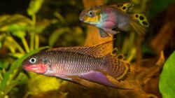 .. unser Pärchen -- Pelvicachromis taeniatus `nigeria red`