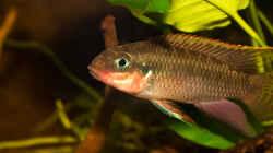 .. unser Männchen -- Pelvicachromis taeniatus `nigeria red`