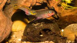 tolles Paar -- Pelvicachromis taeniatus `nigeria red`