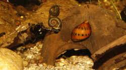 `Planorbarius corneus` mit einer `Vittina semiconica`