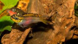 Pelvicachromis taeniatus `nigeria red`