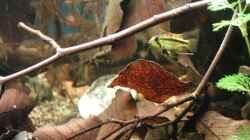 2013 - Kakaduzwergbuntbarsch - Weibchen
