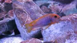Iodotropheus spengerae