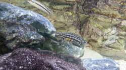 "Julidochromis marlieri ""Magara`"