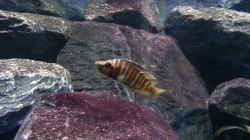 Altolamprologus compressiceps `Golden Head`