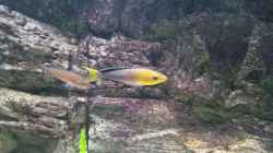 Cyprichromis leptosoma `jumbo` yellow head mpimpwe
