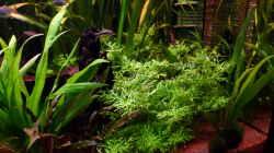 Indischer Wasserwedel - Hygrophila difformis