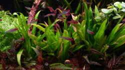 Zellophan-Schwertpflanze - Echinodorus berteroi