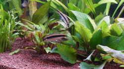 Siamesische Rüsselbarbe - Crossocheilus siamensis