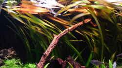 Vallisneria - gigantea