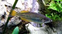 Melanotaenia maccullochi