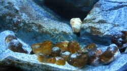 Dekoration im Aquarium Neolamprologus multifasciatus