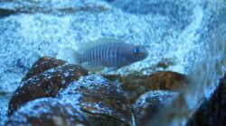 Besatz im Aquarium Neolamprologus multifasciatus