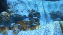 Aquarium Neolamprologus multifasciatus