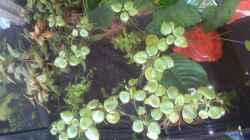 Muschelblume
