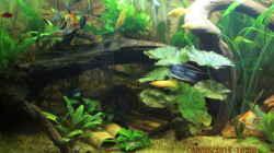 Tigerlotus,im Hintergrund Moorkienwurzel