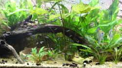 Dekoration im Aquarium Peruaner ( nur noch als Beispiel )