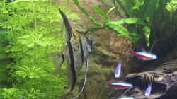 Aquarium Peruaner ( nur noch als Beispiel )