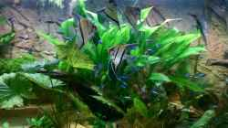 Amazonasschwertpflanze