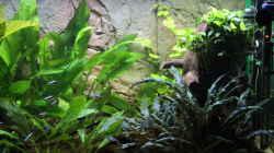 Pflanzen im Aquarium Peruaner ( nur noch als Beispiel )