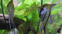Besatz im Aquarium Peruaner ( nur noch als Beispiel )