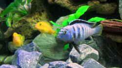 Besatz im Aquarium mbuna-place