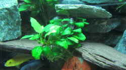Anubias barteri nana